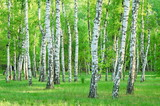 birch grove in the summer - 169260241