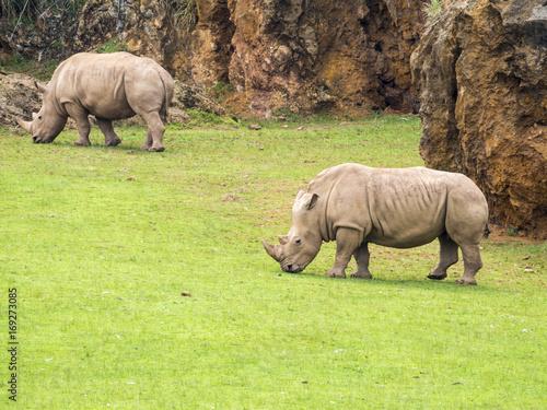 Pareja de rinocerontes pastando