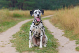 portrait of a funny dalmatian sitting on the road