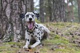 Portrait of a funny dalmatian lying under a tree in a summer forest