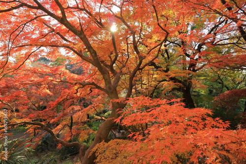 Plakat 紅葉 Autumn leaves