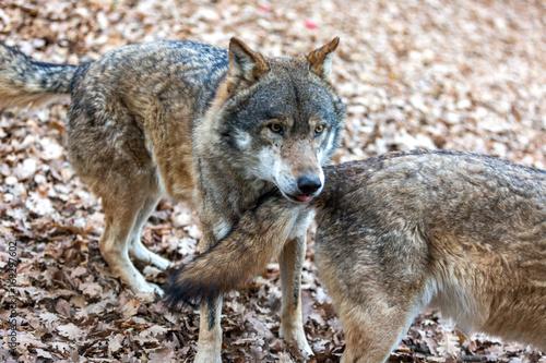 Aluminium Wolf lupo