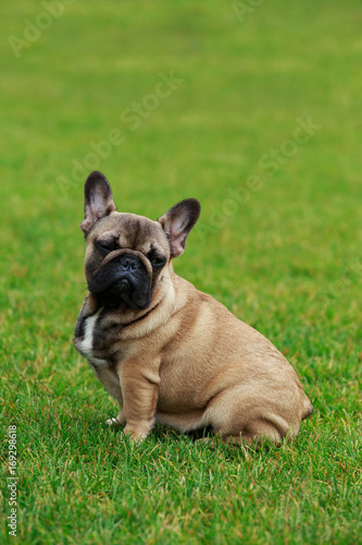 Foto op Aluminium Franse bulldog Dog breed French Bulldog