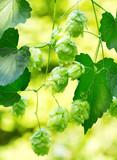 branch of hops in a garden - 169314012
