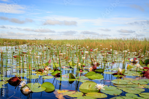 Water lilies in the Okavango Delta.