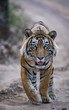 A young and dominant male tiger T57/Jumbo of Ranthambore Tiger Reserve