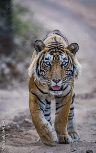 Fotobehang Tijger A young and dominant male tiger T57/Jumbo of Ranthambore Tiger Reserve