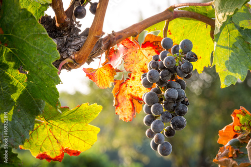 Fotobehang Wijngaard Bunches of ripe grapes growing on grapevine at sunset. Ready for harvest.