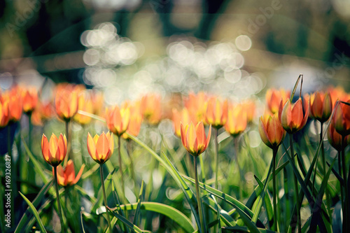 Fotobehang Tulpen Orange tulips against bokeh background