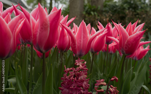 Fotobehang Bordeaux Colourful tulip flowers with beautiful background on a bright summer day
