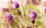 Spring Pasque Flowers - 169347488