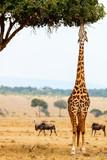 Giraffe in safari park