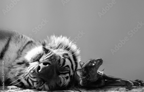 Fotobehang Tijger Black and white of a powerful tiger and small cat friend enjoying a catnap together