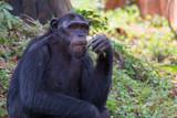 Giant chimpanzee monkey eating banana.