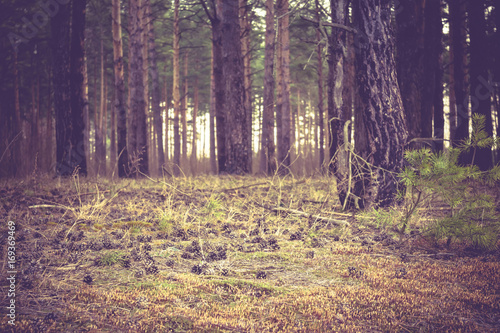 Fotobehang Aubergine Pine Forest Morning Retro