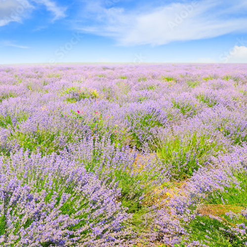 Foto op Aluminium Lichtroze blooming lavender in field and blue sky