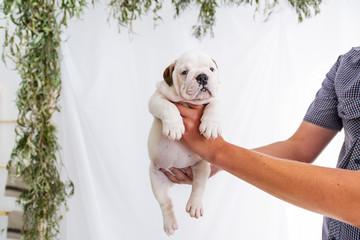 Four week old english bulldog puppy in hand
