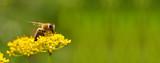 Honeybee harvesting pollen from flowers