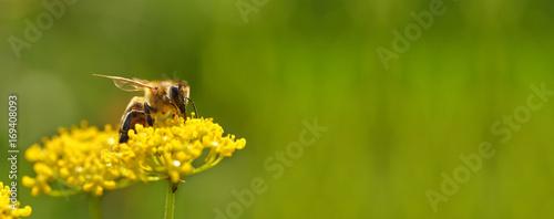 Fotobehang Natuur Honeybee harvesting pollen from flowers