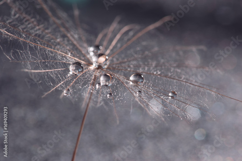 Macro of dandelion with drops of water or dew. Skin dandelion close-up. Selective focus - 169409293