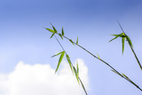 Bamboo leaves background with blus sky