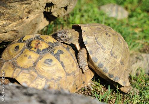 Aluminium Schildpad Two tortoises playing in the grass