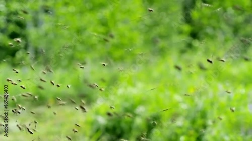 Macro shot of honey bees flying in green meadow at summer day