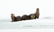 River otters in the winter