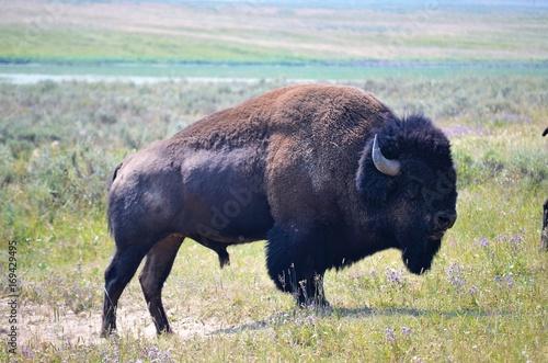 Fotobehang Bison Majestic Bison
