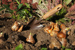 Plantation de bulbes de narcisses - 169443865
