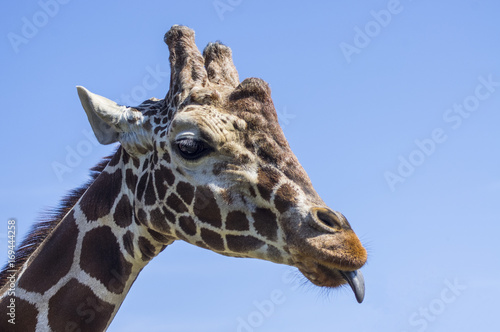 Głowa żyrafy Poster