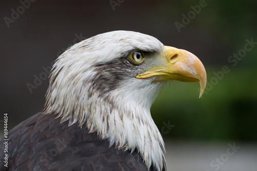 Aluminium Eagle Bald eagle close up, bird of prey