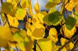Fototapeta Fototapety góry  - Aspen Leaves © James