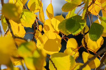 Aspen Leaves © James