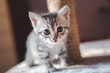 beautiful little gray kitten with blue eyes, Scottish breed