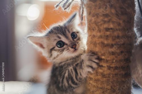 beautiful little gray kitten with blue eyes - 169457000