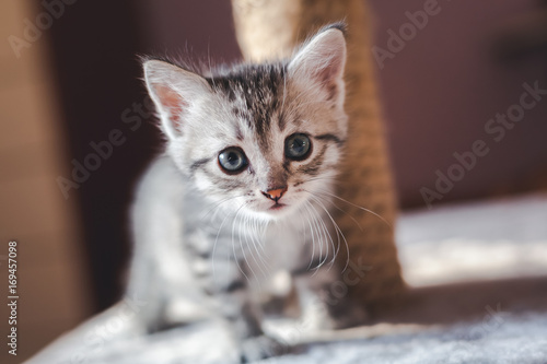 beautiful little gray kitten with blue eyes, Scottish breed Poster