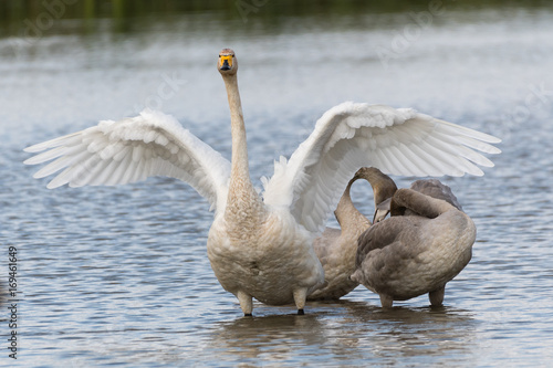Fotobehang Zwaan Safe and peaceful in the protection of the mother's wings