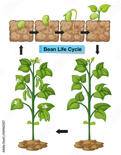 Tuinposter Kids Diagram showing life cycle of bean