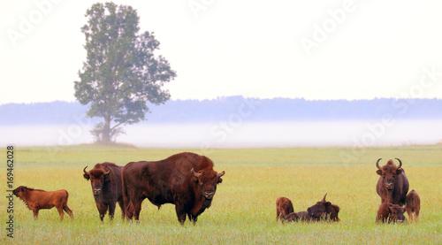 Fotobehang Bison European bison. Wisent. Bison bonasus.
