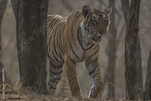 Fotobehang Tijger Bengal Tiger - Early Morning
