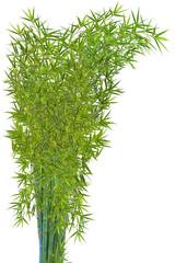 touffe de bambous verts, fond blanc
