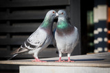 couples of homing pigeon breeding behavior - 169521227