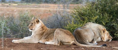 Fotobehang Lion Wild lion