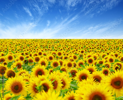 Plexiglas Geel field of blooming sunflowers