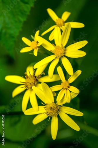 Fotobehang Geel Photo of yellow wild flower in Carpathian mountains