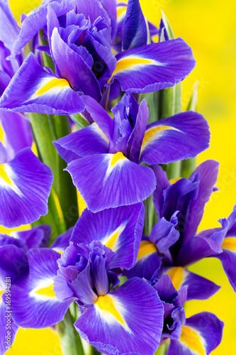 Aluminium Iris Purple iris flower on the yellow background.