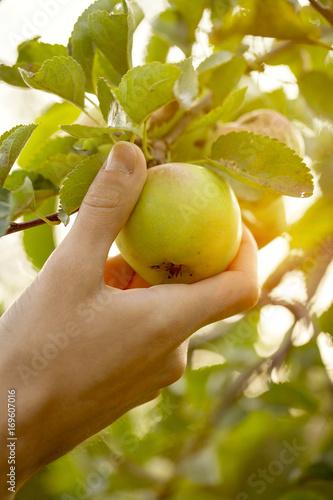 Farmer Adult Man Picking Fresh Apples in Garden Sunset