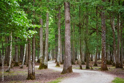 Fotobehang Berkenbos Beautiful mixed pine and deciduous forest with footwalk