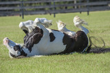 Gypsy horse mare rolling in grass pasture - 169625410
